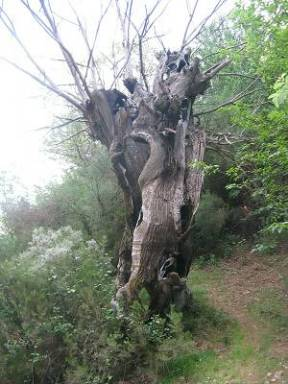 Las Medulas trees (Spain)